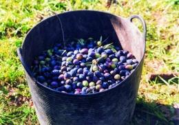 zpracování oliv